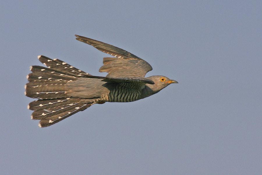 Kuckuck im Flug, Bild: Jürgen Schmidt / Wikipedia