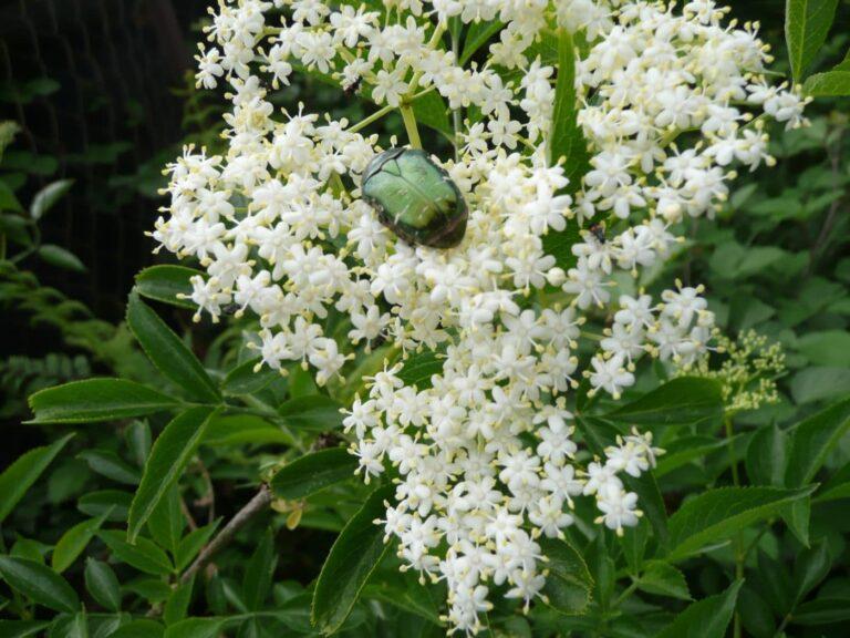 Elderflower with beetle