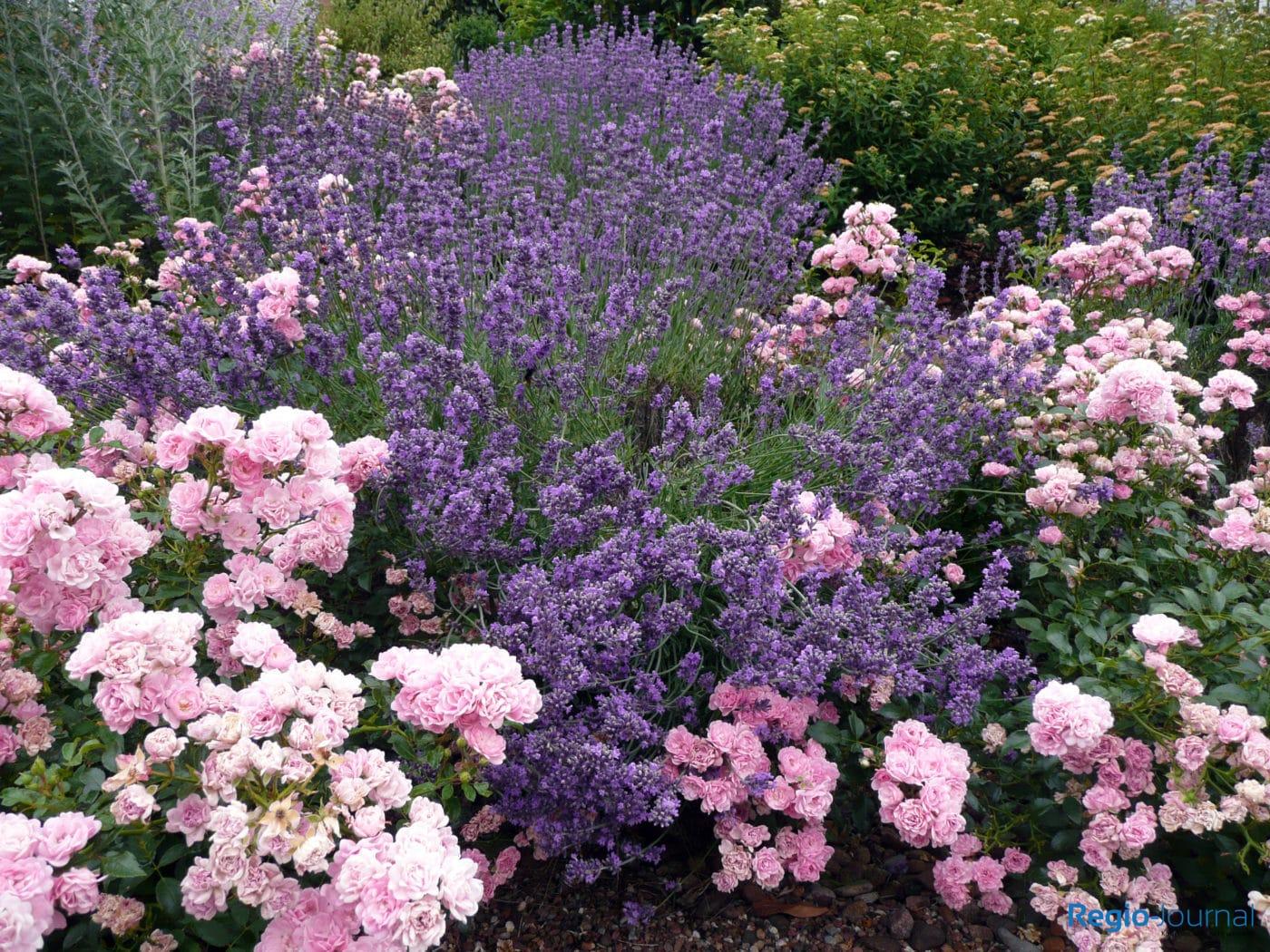 Bildergalerie über Lavendel