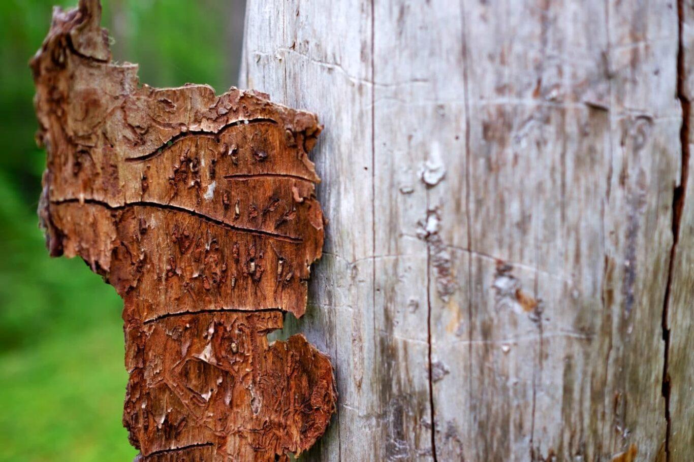 Spuren des Borkenkäfer sind deutlich auf dem Baumstamm zu sehen.