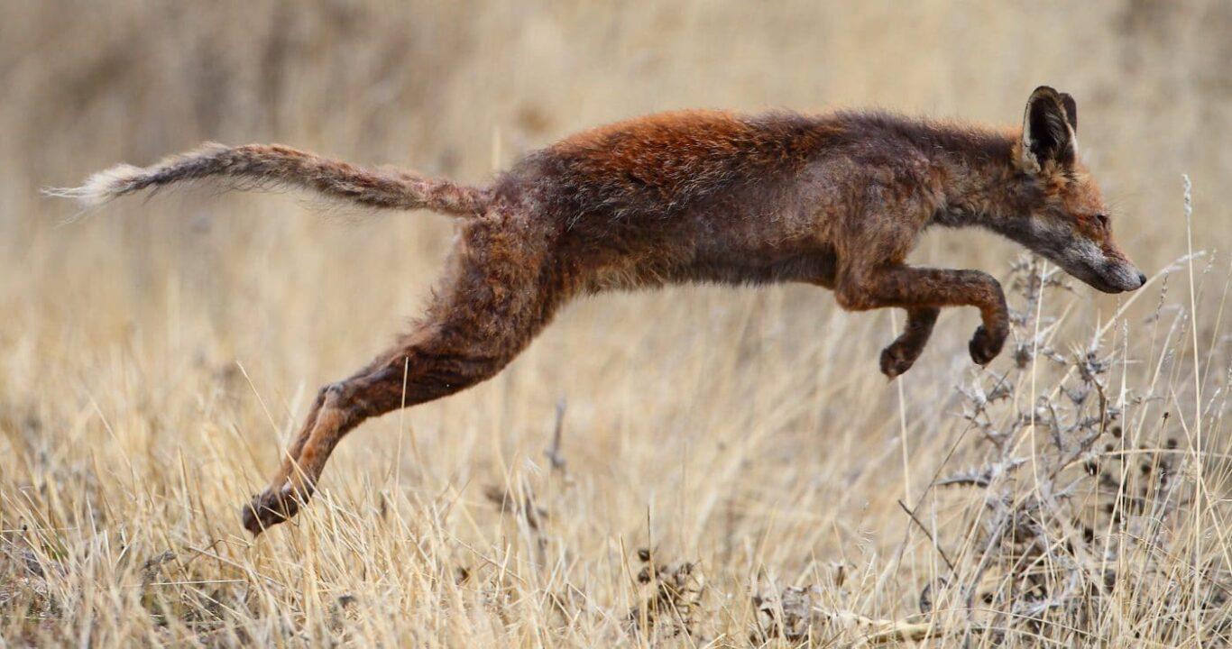 Rotfuchs mit Sarcoptes-Räude | Bild: Juan lacruz