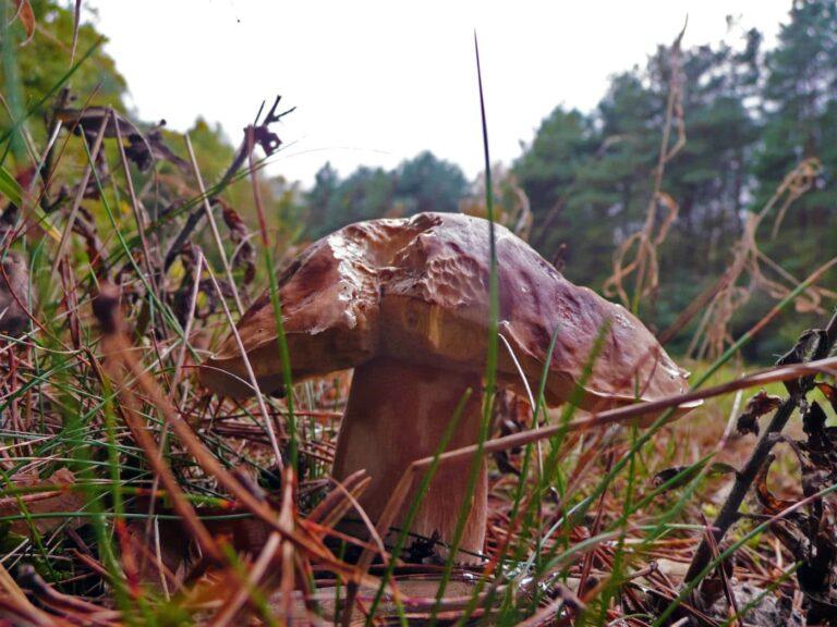 Ein alter Steinpilz | Bild: F. M.