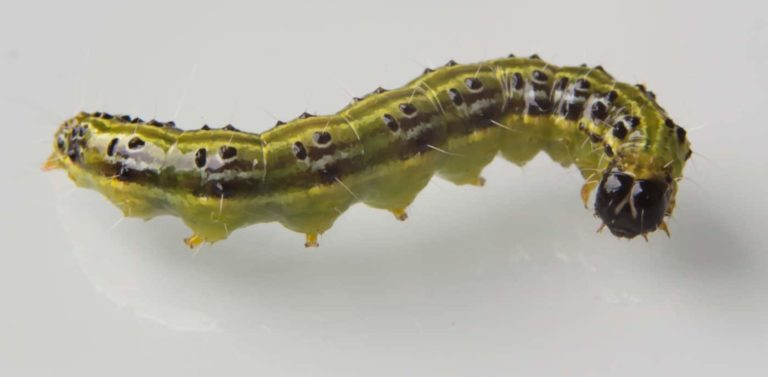 The caterpillar 's caterpillar | Image: st-SaHiB