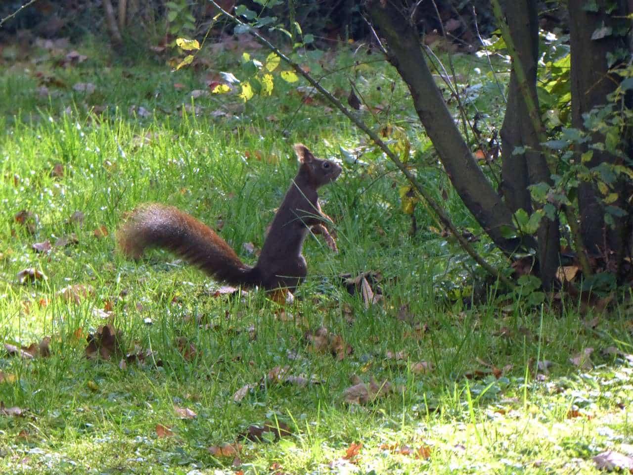 Ein Eichhörnchen ist in freier Wildbahn besser unterwegs...