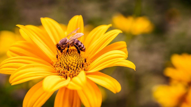 Gelbe Blume mit Biene