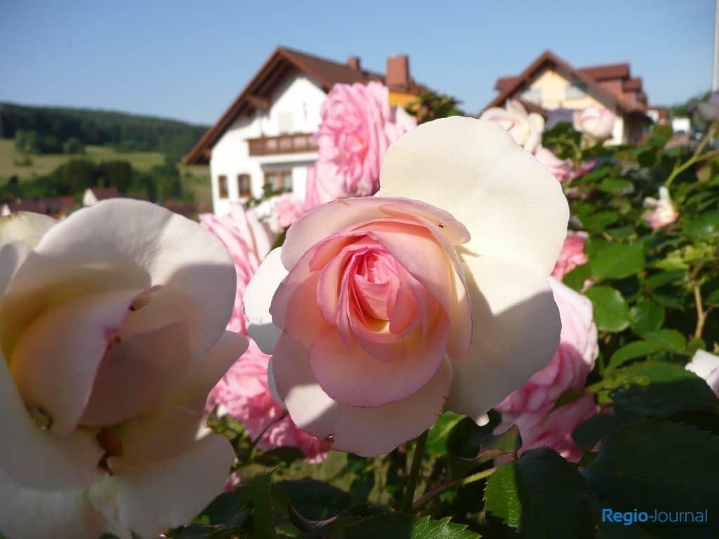Rosenart / Rosensorte