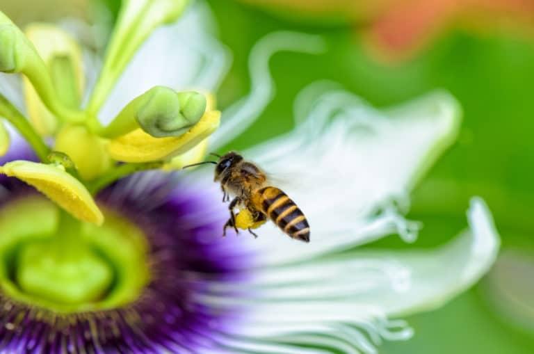 Biene fliegt über Blumen