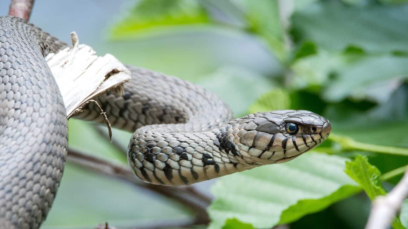Close-up of a grass snake