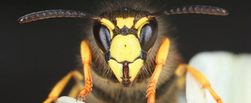 Wespe von Vorne