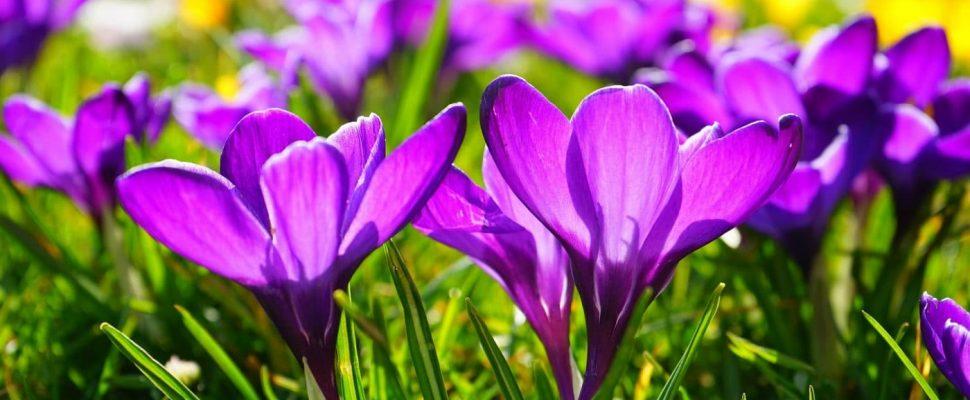 Flowering crocus Image: Schiffweiler municipality