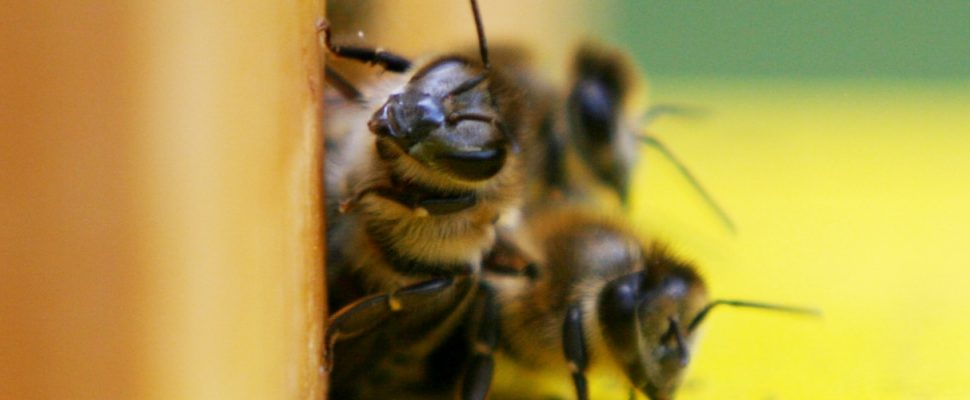 Bees, about dts